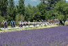 Provencal lavender greets the colourful peloton as it heads south towards the climax of the day...