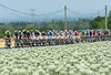 The peloton is starting to string out as it passes a huge crop of onions somewhere in Drome-Provence...
