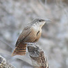 Canyon Wren in California Gulch, a hot birding spot only a mile and a half from Mexico.