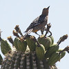 Gila Woodpecker not the Gilded Flicker I was hoping to see .