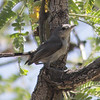 Black-tailed Gnatcatcher in Montosa Canyon, seen while looking for the rarer Black-capped Gnatcatcher.