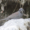 Five-striped Sparrow at only water feature in the area.
