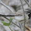 Black-throated Sparrow which at first I mistook for Five-striped Sparrow, but missing middle white stripe.