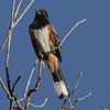 Spotted Towhee - Miller Canyon