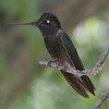 Magnificent Hummingbird - Chiricahua Mountains.  Same bird as previous photo only different angle.