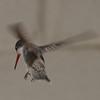 Violet-crowned Hummingbird - Paton's Yard, Patagonia