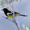 Scott's Oriole - Carr Canyon