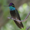 Magnificent Hummingbird - Chiricahua Mountains
