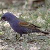Blue Grosbeak - Paton's Yard, Patagonia