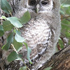 Spotted Owl - Miller Canyon