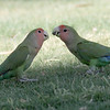 Rosy-faced Lovebirds - Encanto Park, Phoenix