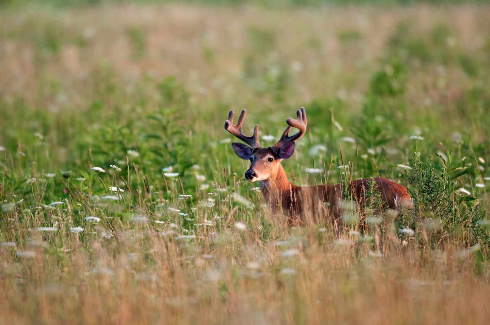 White-tailed deer buck in meadow
