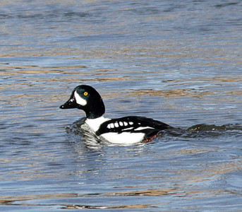 2014 Barrow's Goldeneye - Fox River