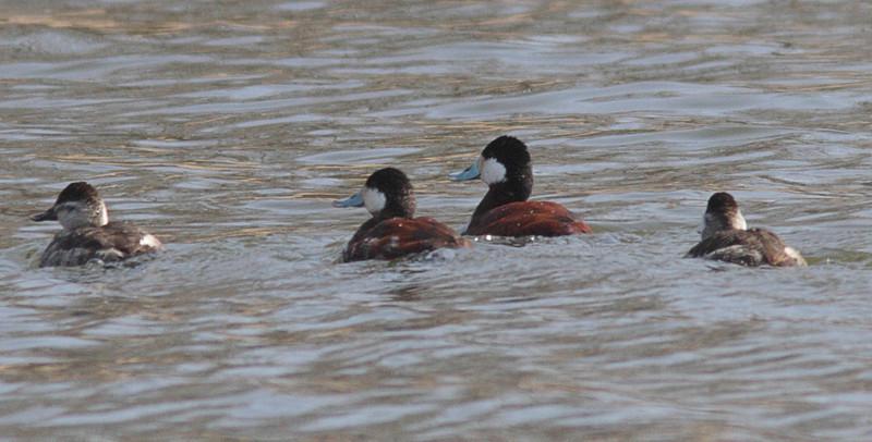 Ruddy Ducks - Lake Arlington