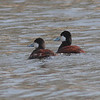 Ruddy Ducks - Lake Arlington