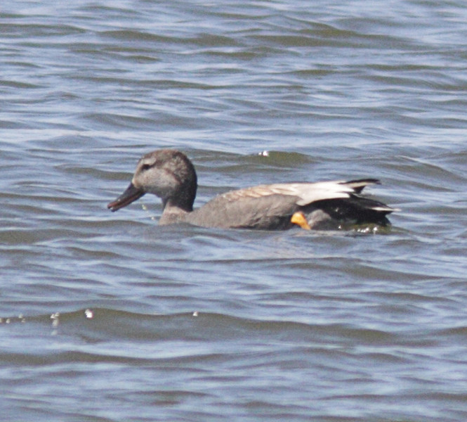 Gadwall  was the only other duck beskdes the Wigeon in with the American Coots.