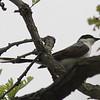 Fork-tailed Flycatcher flew to west side of Fox River into Oak Tree were photo was taken.