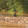 Herding ducks - a tough job!