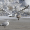 Thayer's Gull tookflight and I tried to get the wing tips.