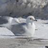 Paler Kumlien's Gull