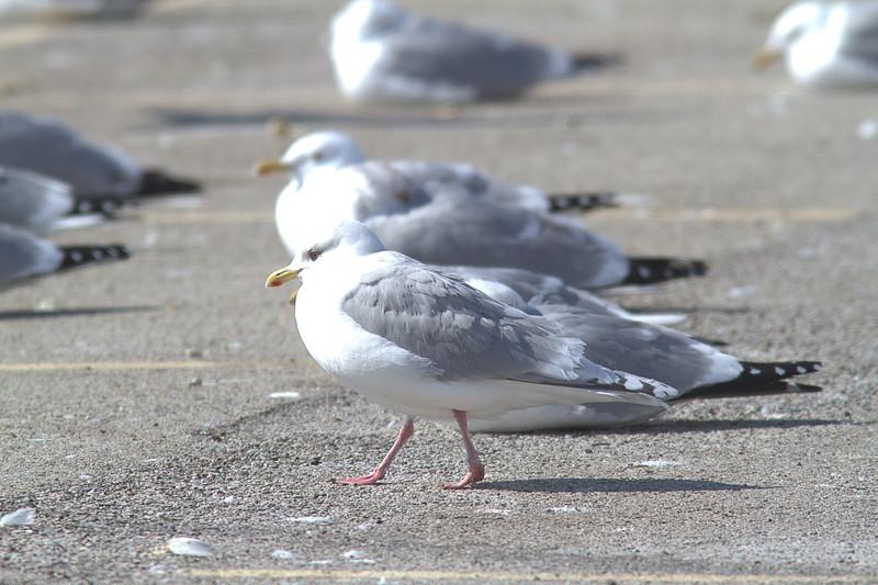 Kumlien's Gull Dark adult.