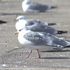 Kumlien's Gull Dark adult.