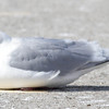 Kumliens Gull Darker Adult