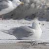 Kumlien's Gull paler bird
