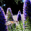 Monarch on Purple Pride Of Madeira Flower. Esalen.