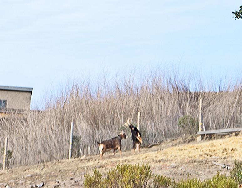 Goats butting heads. El Sobrante Ridge Trail.