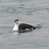 Red-throated Loon - IBSP North Unit