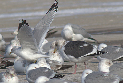 2014 Slaty-backed Gull - Lake Co. Fairground