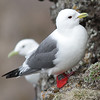 Adult Red legged Kittiwake - St. Paul Island