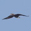 Bald Eagle over Fox River in Elgin.