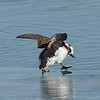 Long-tailed Duck decides water safer  than ice.