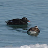 White-winged Scoter and female Long-tailed Duck shown for size comparison.