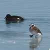 Long-tailed was scared to the ice by one of the White-winged Scoters.