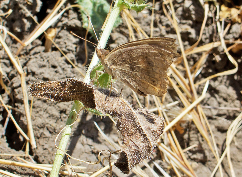 Camouflaged butterfly - Wildcat Canyon Trail