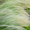 Pampas Grass. Prince Street, Berkeley.