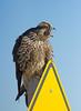 Peregrine Falcon at Brig
