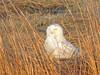 Snowy Owl--at Brig
