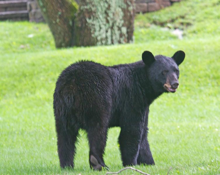 Neighborhood Bear--7/3/14