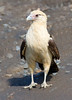 Yellow-headed Caracara--Costa Rica