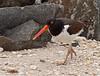 American Oystercatcher -