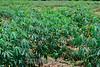 Sao Jose dos Campos - SP Brasil -2014-03-13 - Plantacao de mandioca / Yuca plantation / Plantacion de yuca - Mandioca - Manihot esculenta / Brasilien : Maniok - Pflanze - Landwirtschaft - Anbau von Maniok © Lucas Lacaz Ruiz/LATINPHOTO.org