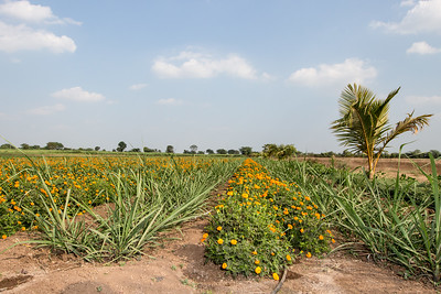 Agriculture demo plot that combines wide spacing sugar cane, marigolds, and drip irrigation in Darekarwadi.