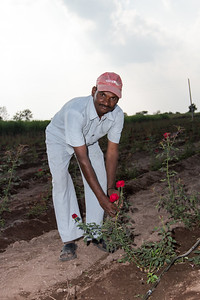 A farmer shows off his roses in an agriculture demo plot that uses drip irrigation in Darekarwadi.