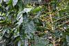 Mexico : Plantación de café en Tapachula , Chiapas / Coffee plantation in Tapachula , Chiapas / Mexiko : Kaffeeplantage in Tapachula - Kaffeebohnen © Prometeo Lucero/LATINPHOTO.org