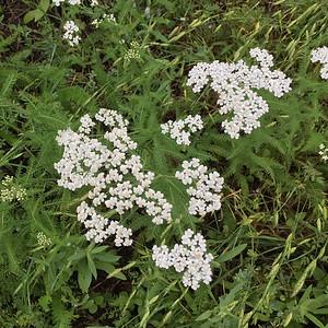 2015-04-McKinneyFalls-wildflowers