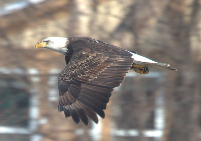 2015 Bald Eagles & Barrow's Goldeneye - Fox River